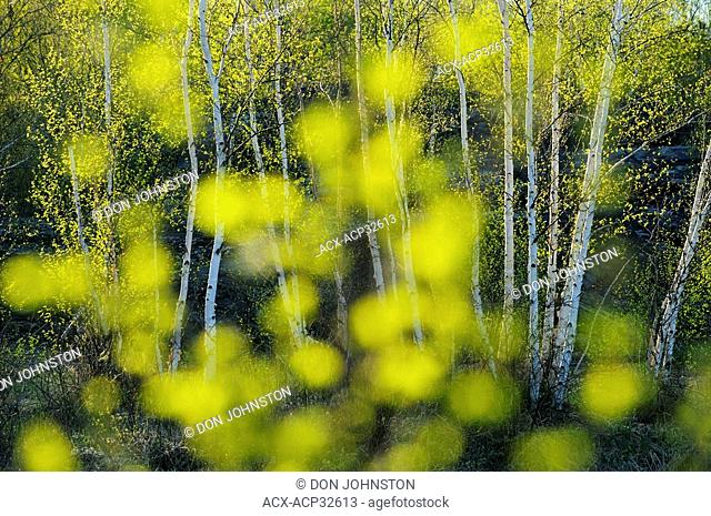 Spring trees as seen through out of focus leaves. Greater Sudbury, Ontario, Canada