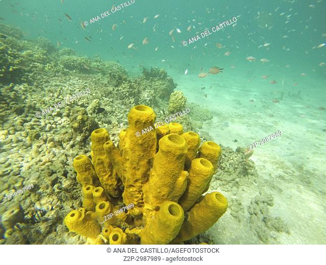 Underwater image in Young Island, Saint Vincent And The Grenadines Caribbean sea. Porifera Parazoa