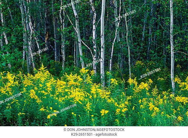 Goldenrod flowers and birch trees, Greater Sudbury, Ontario, Canada