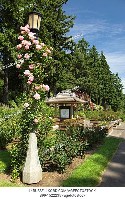 Pink Climbing Rose Covered Lantern International Rose Test Garden Washington Park Portland Oregon USA