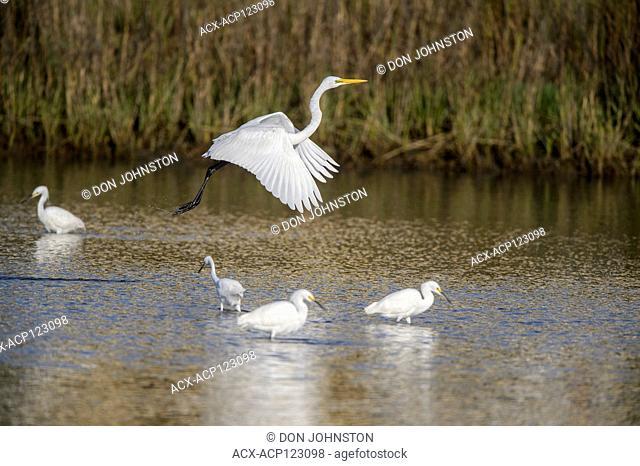 Great egret (Casmerodius albus, Ardea alba, Egretta alba) and Snowy egret (Egretta thula) foraging in wetland shallows, Goose Island State Park, Texas, USA