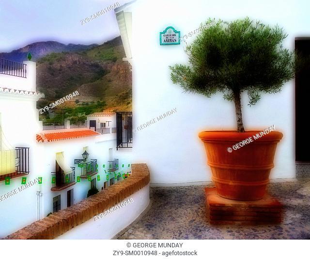 OLive Tree in large ceramic pot,