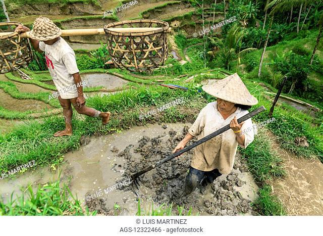 Farmers working on rice terraces, near Ubud; Tegallalang, Bali Island, Indonesia