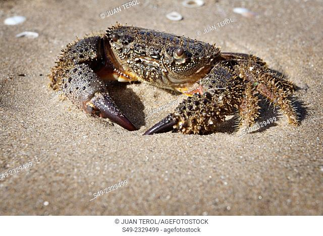 Natural crab on the sand, Spain