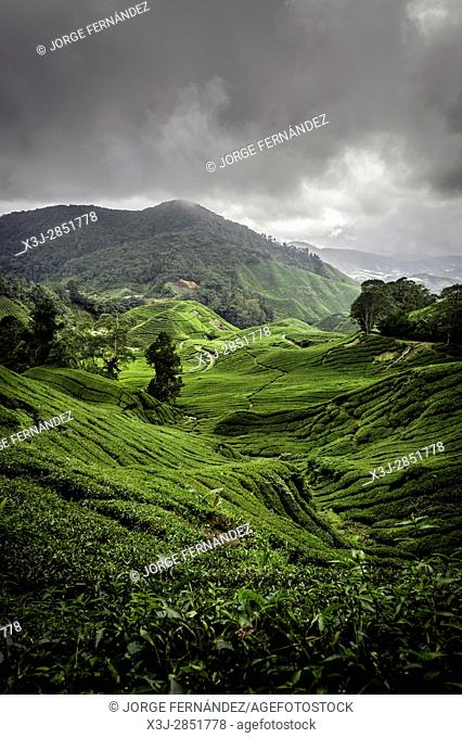 Landscape of a tea plantation on a cloudy day