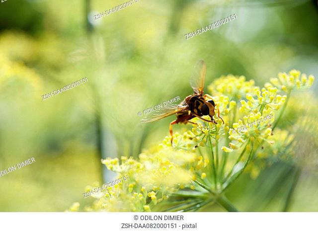 Wasp pollinating fennel flowers
