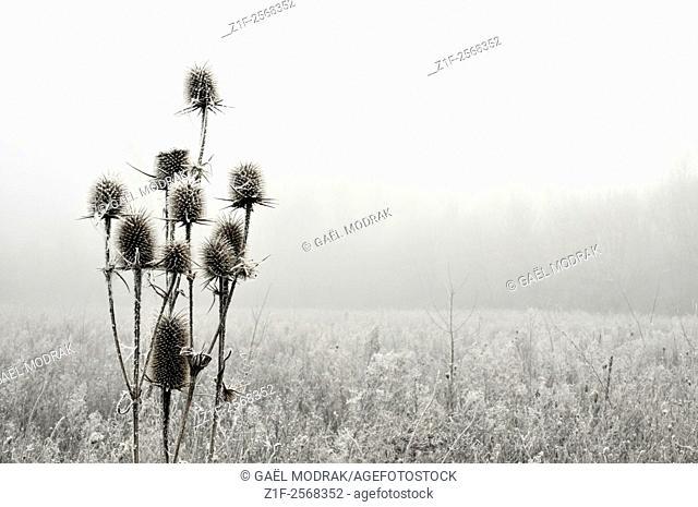Frozen wild teasel in winter, France. Dipsacus fullonum