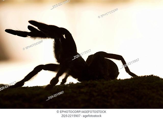 Psychedelic burrowing tarantula, Thrigmopeous psychedelicus, Common, Thenmala, Kerala