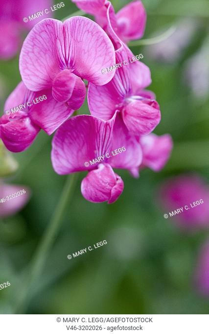 Broad-leaved Everlasting-pea, Lathyrus latifolius, the bright pink wild pea. A robust sprawling perennial of scrublands and grsslands