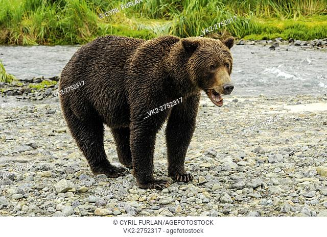 Grizzly Sow Mouth Open, Katmai National Park Alaska