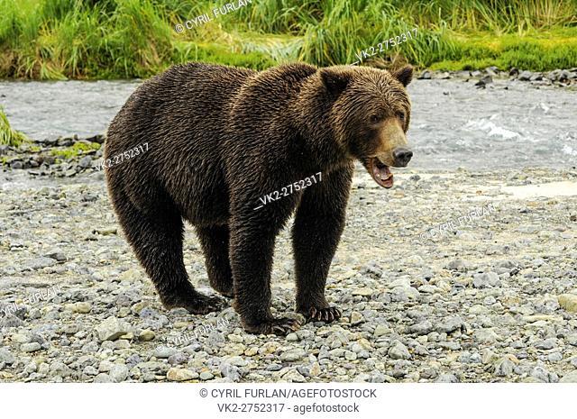 Grizzly Sow Mouth Open, Katmai National Park Alaska