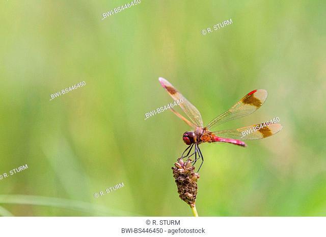 banded sympetrum (Sympetrum pedemontanum), landing on a plantain, Austria, Tyrol
