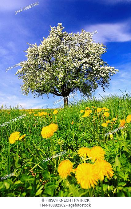agrarian, apple, apple tree, apple tree blossom, flourish, tree, blossom, flourish, flower splendour, smell, field, flora, spring, sky, pomes, agriculture