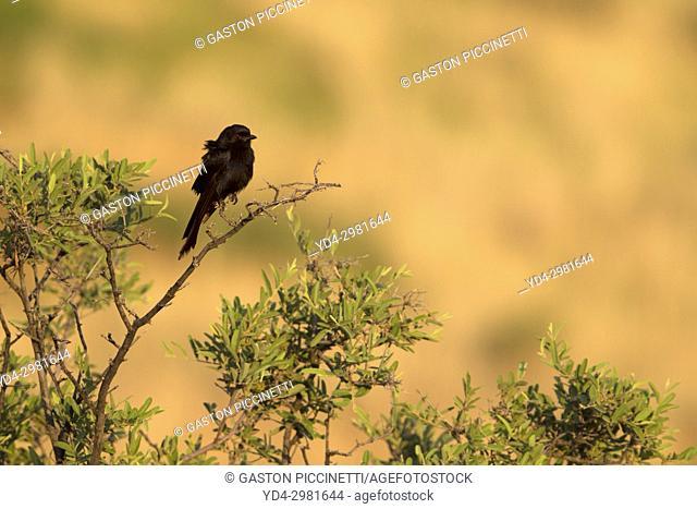 Fork-tailed Drongo (Dicrurus adsimilis), Kgalagadi Transfrontier Park, Kalahari desert, South Africa/Botswana.
