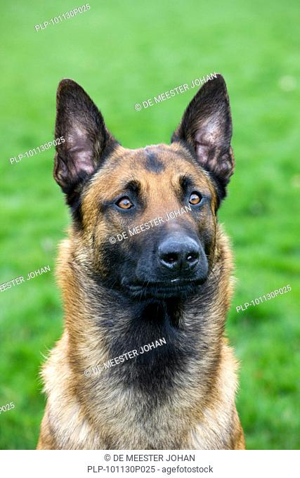 Belgian Shepherd Dog / Malinois Canis lupus familiaris close up