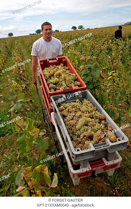 HAND PICKING OF THE GRAPES, BURGUNDY WHITE, HUBER-VERDEREAU VINEYARDS, VOLNAY, COTE-D'OR 21, BURGUNDY, FRANCE