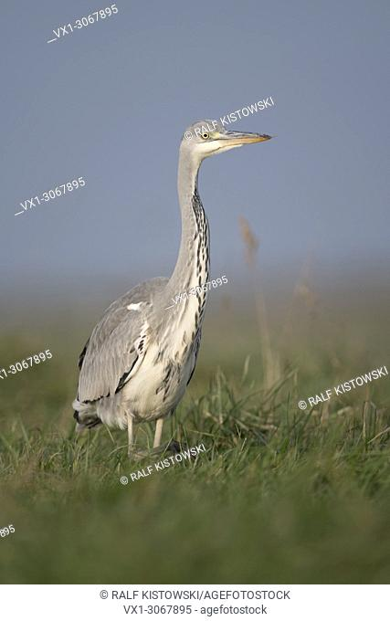 Gray Heron (Ardea cinerea), slowly moving through high vegetation, watching around attentively, frontal shot, close. Germany