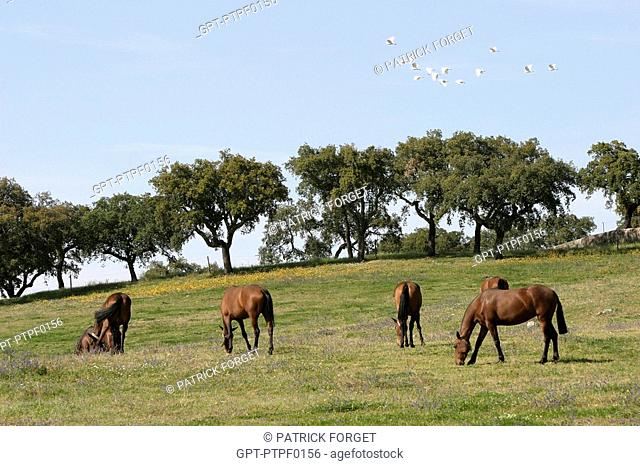 LUSITANIAN HORSES, COUDELARIA DE ALTER, NATIONAL STUD FARM, ALTER DO CHAO, ALENTEJO, PORTUGAL