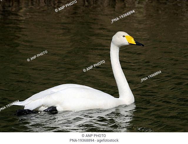 Whooper Swan Cygnus cygnus - Lelystad, Flevopolder, Flevoland, The Netherlands, Holland, Europe