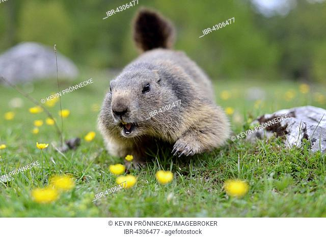 Alpine marmot (Marmota marmota) running through alpine meadow, Dachstein Salzkammergut, Austria
