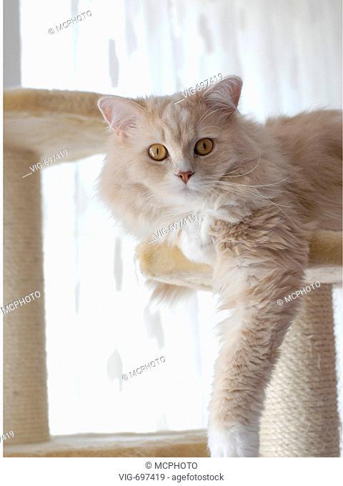 domestic cat, house cat (Felis silvestris f. catus), Angora cat on scratching post  - 18/01/2008