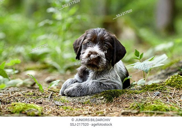 German Wirehaired Pointer. Puppy lying on the forest floor. Germany