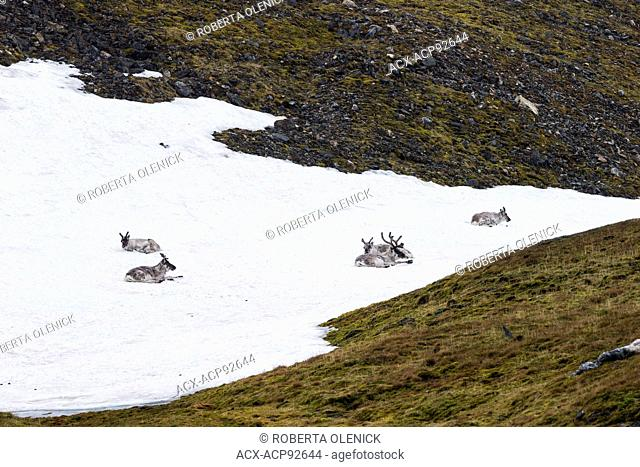 Svalbard reindeer (Rangifer tarandus platyrhynchus), resting on snowfield, Alkehornet, Svalbard Archipelago, Arctic Norway
