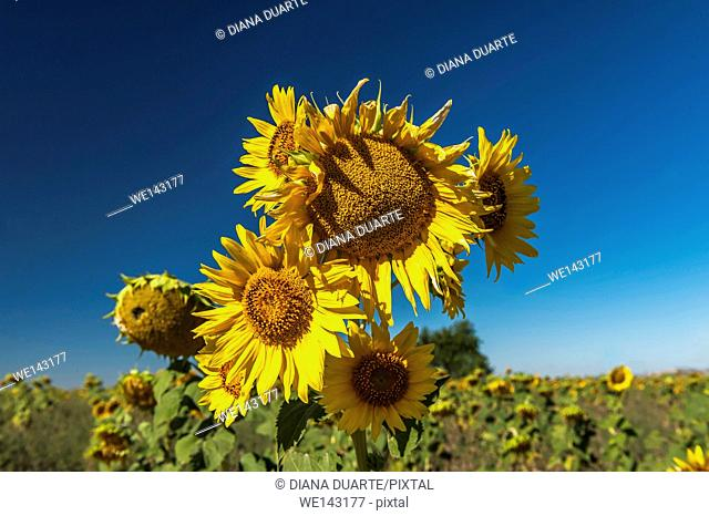 Sunflowers (Helianthus), Field of thousands of sunflowers on the vast plain of the lands of Cuenca. Spain