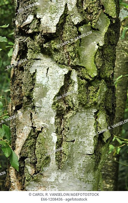 gnarled bark of European white birch tree, betula alba, betulacae