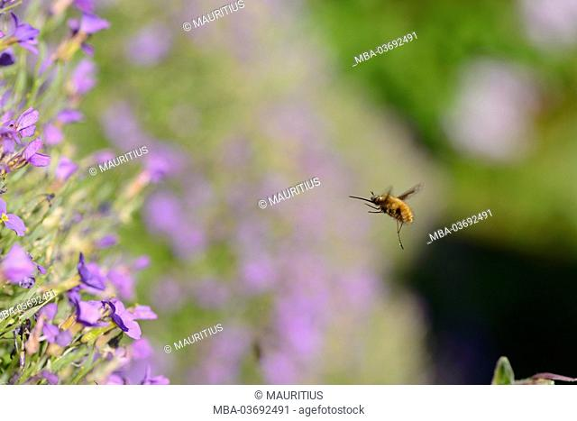 large bee fly, Bombylius major, airborne