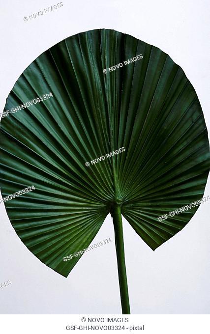 Green Fan Leaf on White Background