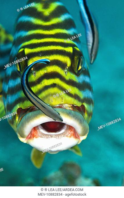 Oriental Sweetlips - being cleaned by two Cleaner Wrasse Fish (Labroides dimidiatus) (Plectorhinchus vittatus). Maldives