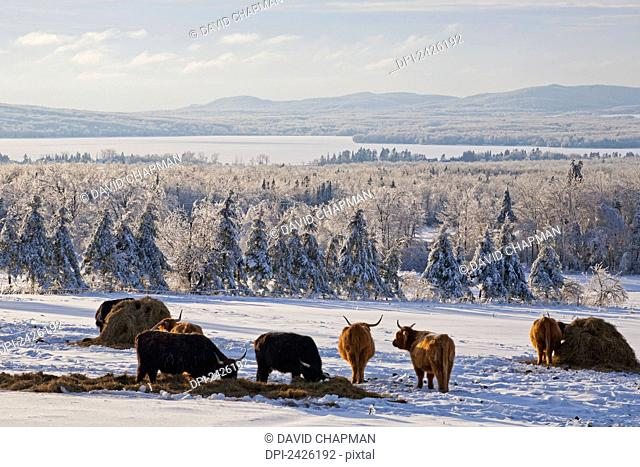 Highland cattle in a meadow in winter; West Bolton, Quebec, Canada