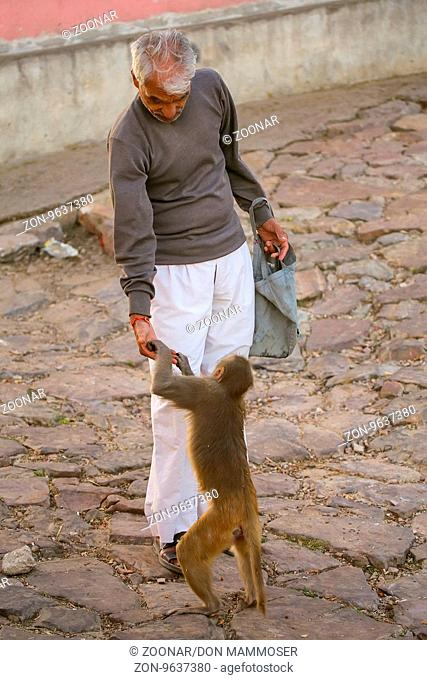 Local man feeding macaques near Galta Temple in Jaipur, India. The temple is famous for large troop of monkeys who live here