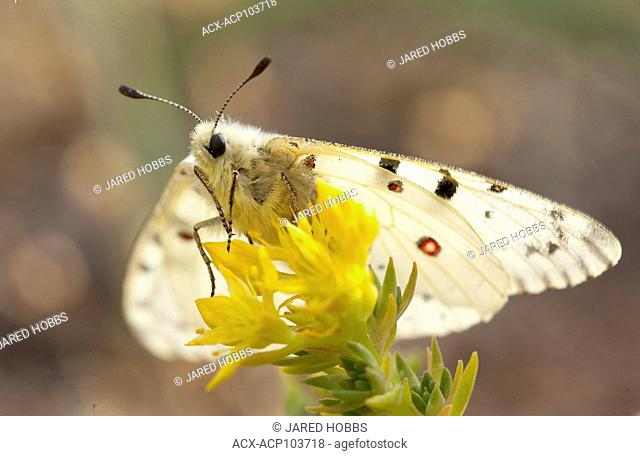 Butterfly, Parnassius smintheus, Alpine Meadows, Rocky Mountain Trench, British Columbia, Canada