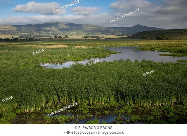 View of extensive reedbeds in wetland habitat, Wakkerstroom, Mpumalanga, South Africa, November