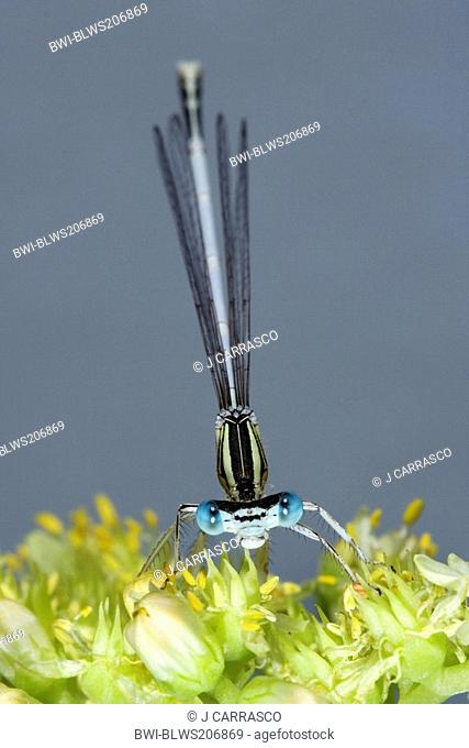 damselflies Zygoptera, front view, Spain, Turia river natural park