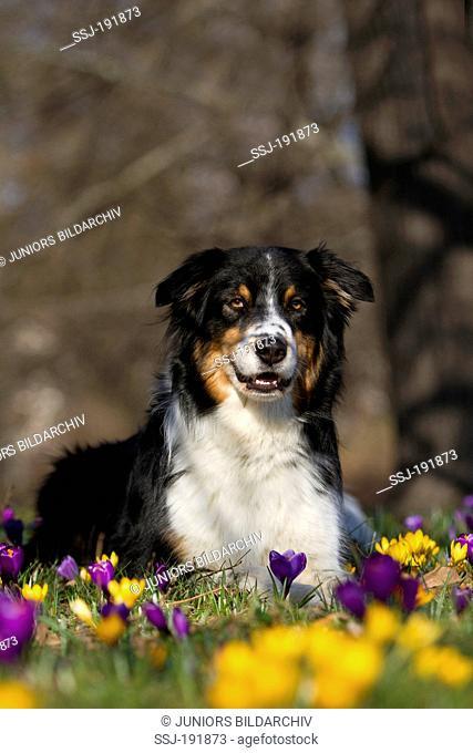 Australian Shepherd. Adult dog (black tri) lying in Crocus flowers. Germany