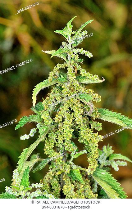 Plant of Urtica sp. Fam Urticaceae. Sorteny valley Natural Park. Andorra. Europe