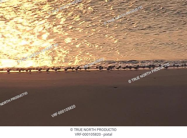 Uist, Scotland, Flock of Oyster Catchers, shoreline, feeding, hunting, togetherness, protection