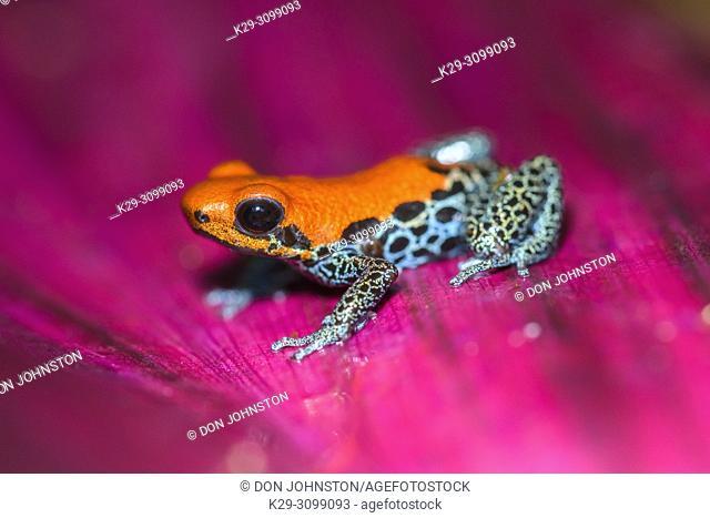 Ranitomeya amazonica, Understory Enterprises, Captive raised, Native to: Peru