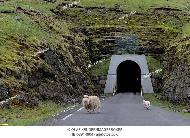 Sheep in front of the single-track tunnel between Husar and Mikladalur, Kalsoy, Faroe Islands, Denmark