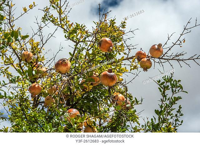 Pomegranate tree on a farm near Cape Town, South Africa