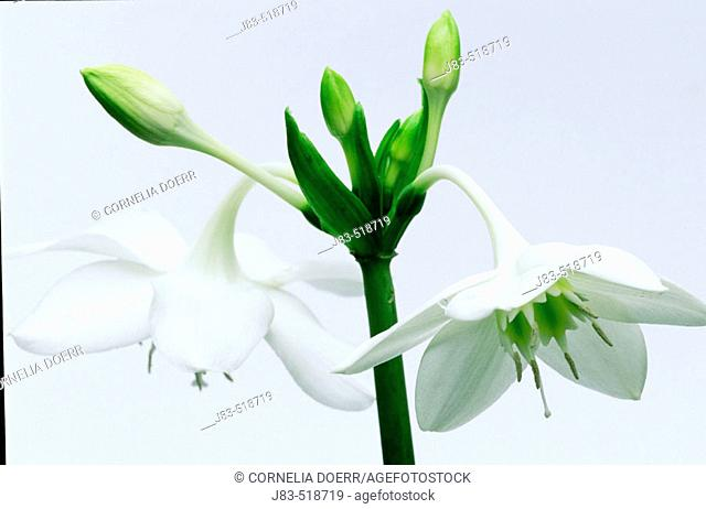 Lilly blossom, (Eucharis amazonica). Colombia