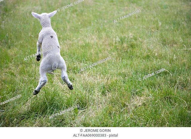 Lamb jumping, rear view