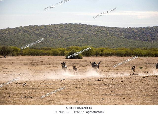 Running Wildebeeste At Etosha National Park