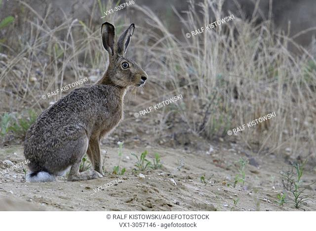 Brown Hare / European Hare ( Lepus europaeus ) female adult, sitting in the slope of a sand pit, watching attentively, full body, side view, wildlife, Europe