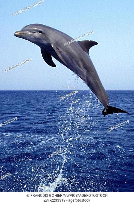 Bottlenose dolphin.Tursiops truncatus.Carribean. Off Roatan Island, Honduras, Central America