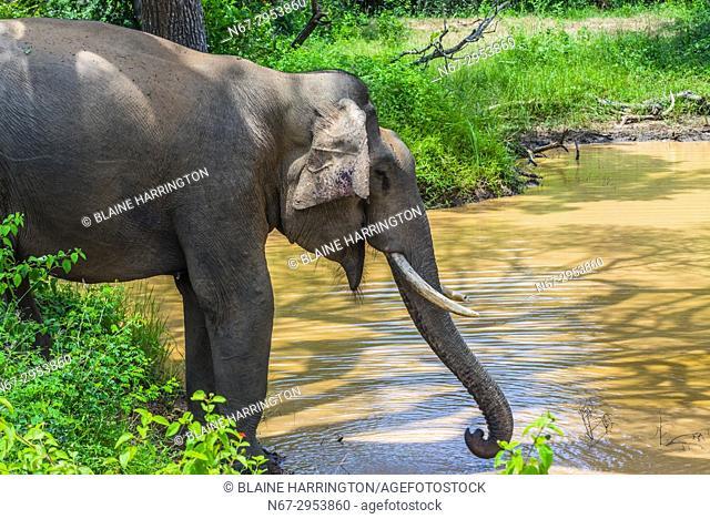 Tusked elephant drinking from a pond, Yala National Park, Southern Province, Sri Lanka