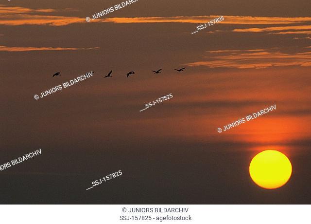 sunrise - Common Cranes flying / Grus grus